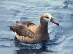 Теплолюбивость альбатроса