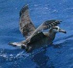 Распространение черноногого альбатроса
