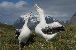 Основные концентрации альбатроса