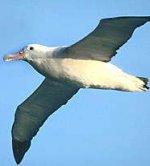 Жизнь альбатроса в воздухе