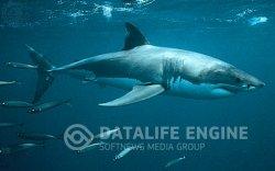 Питание белых акул